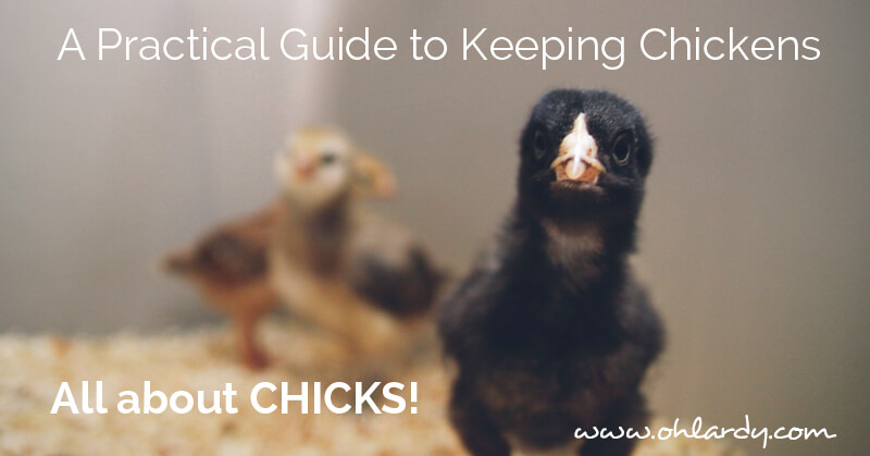 A Practical Guide to Keeping Chickens, all about CHICKS! - ohlardy.com