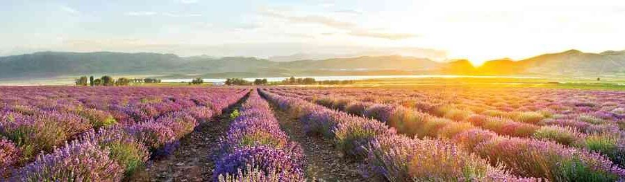 Young Living Essential Oils Lavender Fields