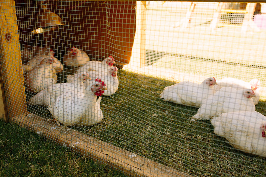 How to harvest meat chickens part 4