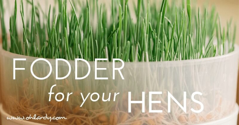 How to Grow Fodder for Hens