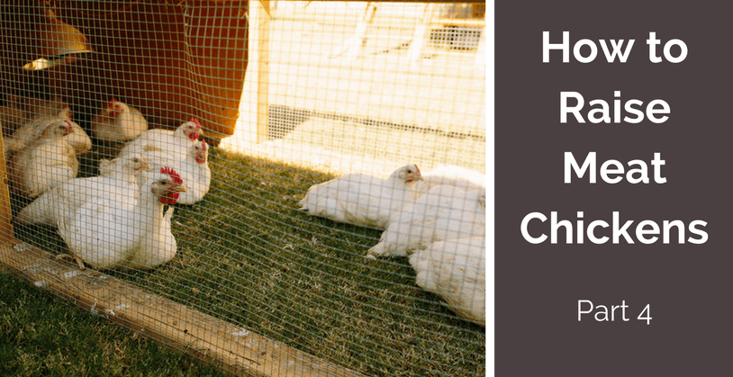 How to raise meat chickens - part 4